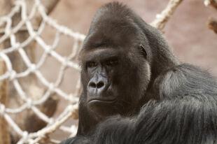 Tylko 2 procent genów różni nas od goryla